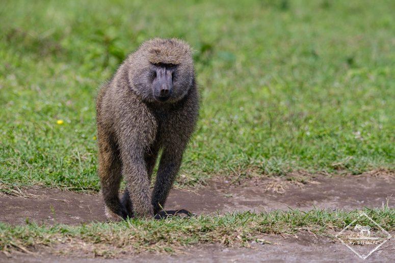 Babouin, parc national Arusha