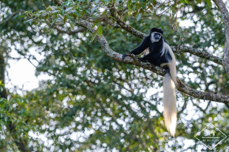 Colobe Guéréza, Parc national Arusha