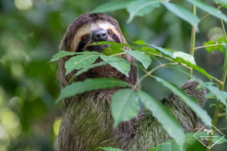 Où voir des paresseux au Costa Rica ?