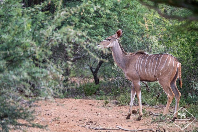 Grand Koudou, Black Rhino Game Reserve