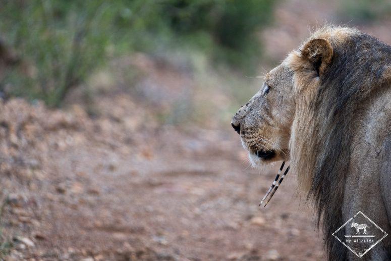 Lion, Black Rhino Game Reserve