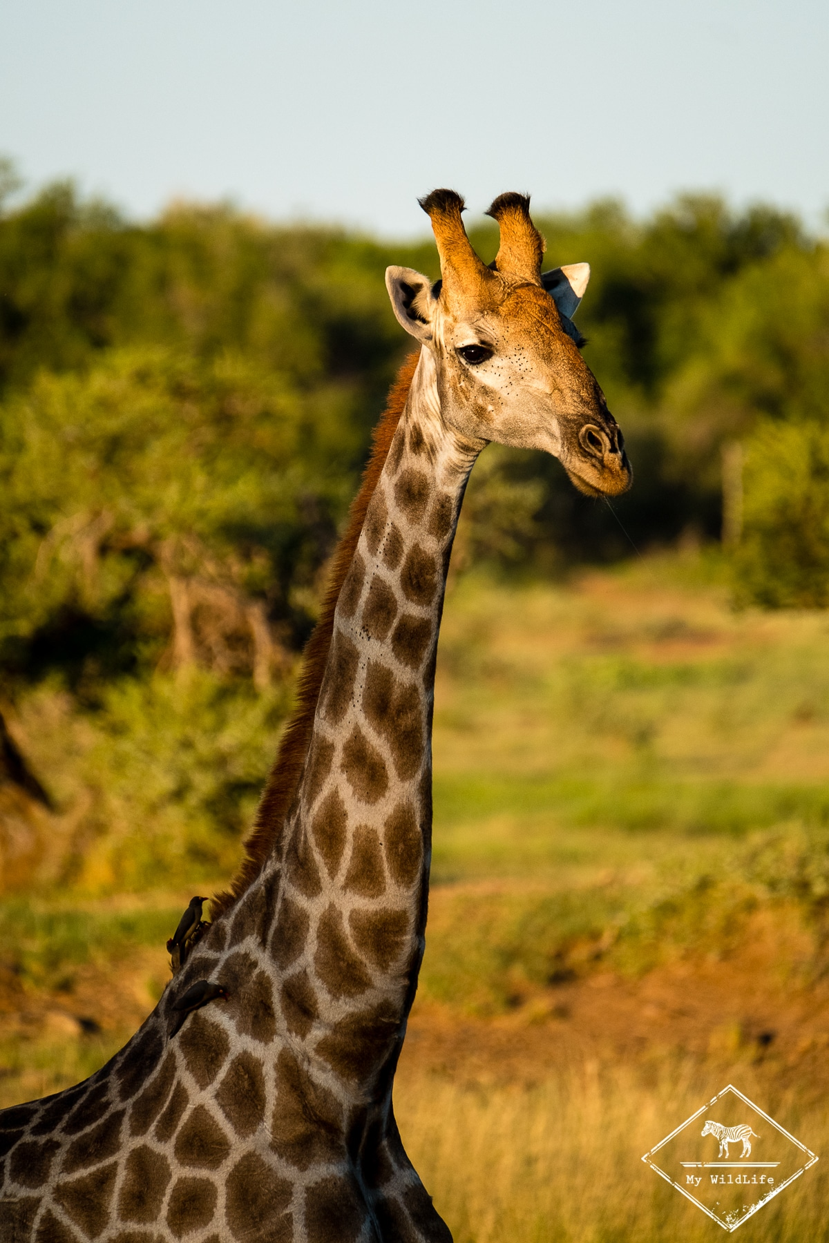 Girafe, Black Rhino Game Reserve