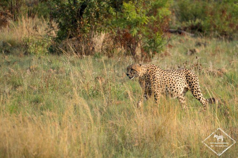 Guépard, Parc national Pilanesberg
