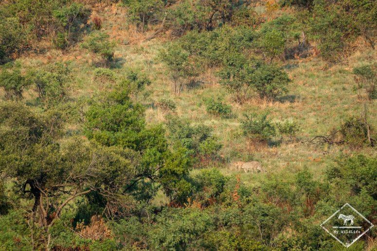 Guépards, Parc national Pilanesberg