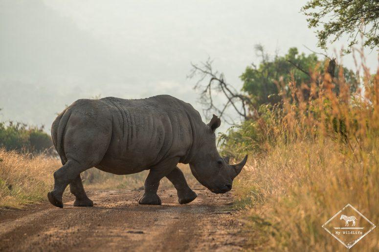 Rhinocéros blanc, Parc national Pilanesberg