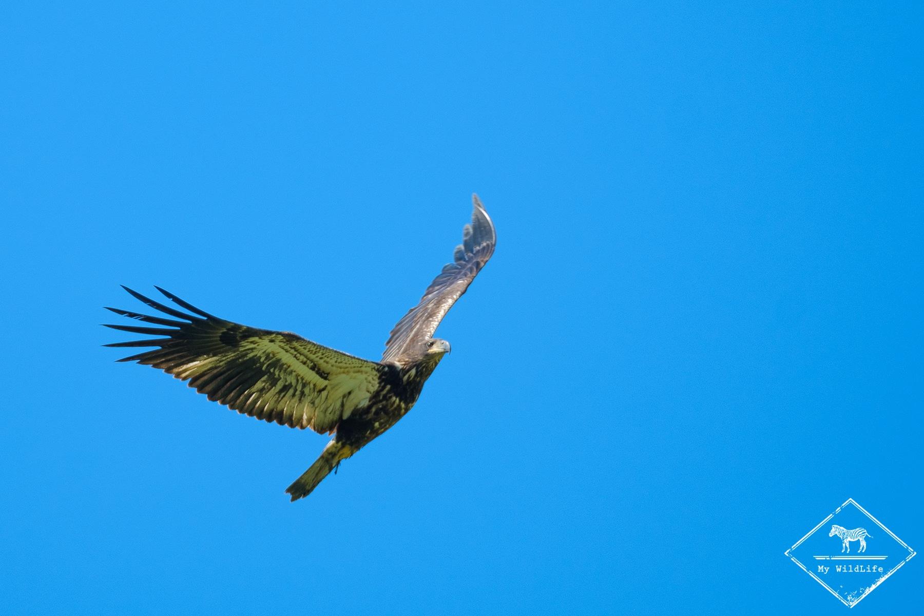 Pygarge à tête blanche, Réserve nationale de faune du Cap‑Tourmente