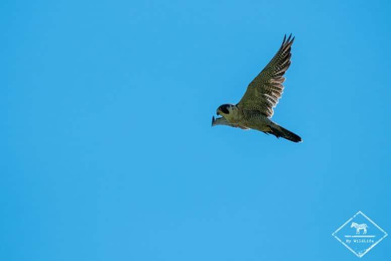Faucon pélerin, Réserve nationale de faune du Cap‑Tourmente