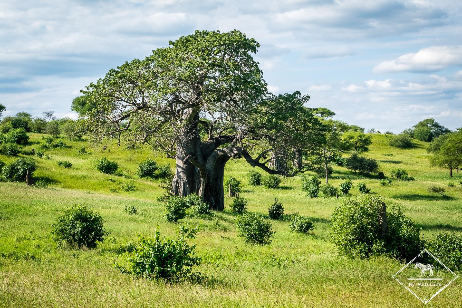 Baobabs, parc national Tarangire