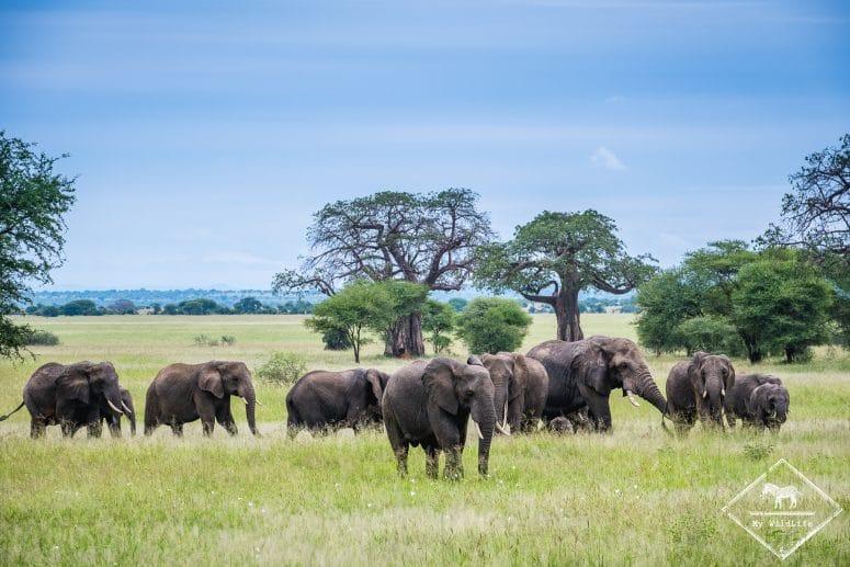 éléphants, parc national Tarangire