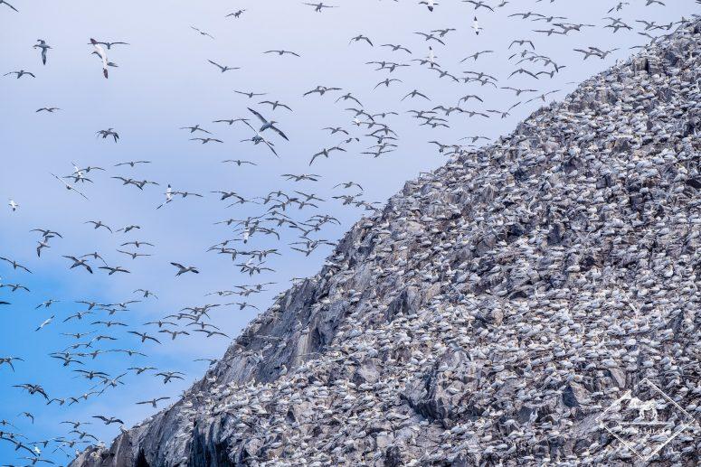 Fous de Bassan sur Bass Rock