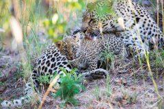 Safari photo en Afrique du Sud dans les réserves du Greater Kruger