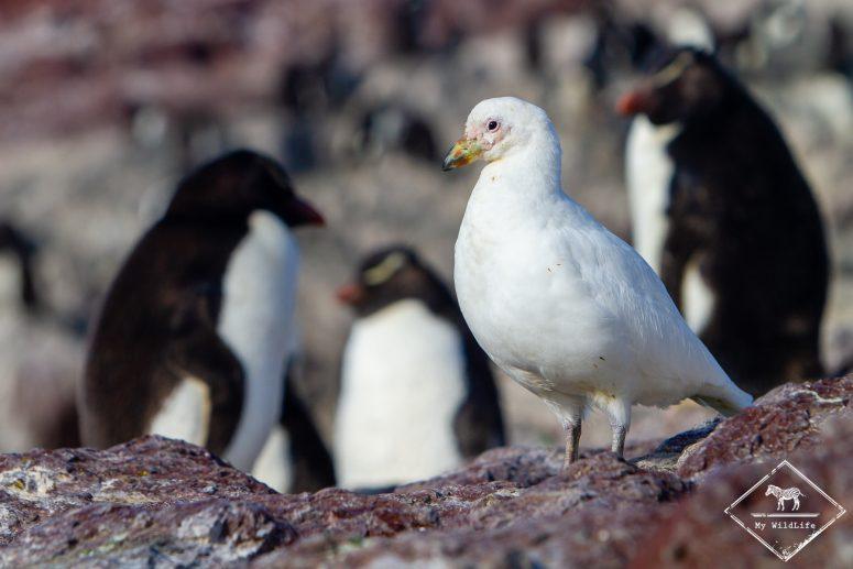 Chionis blanc, Isla Pinguïno, Patagonie, Argentine.