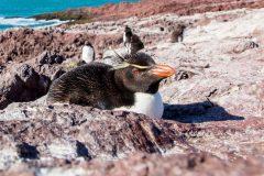 Isla Pingüino : rencontre avec le gorfou sauteur