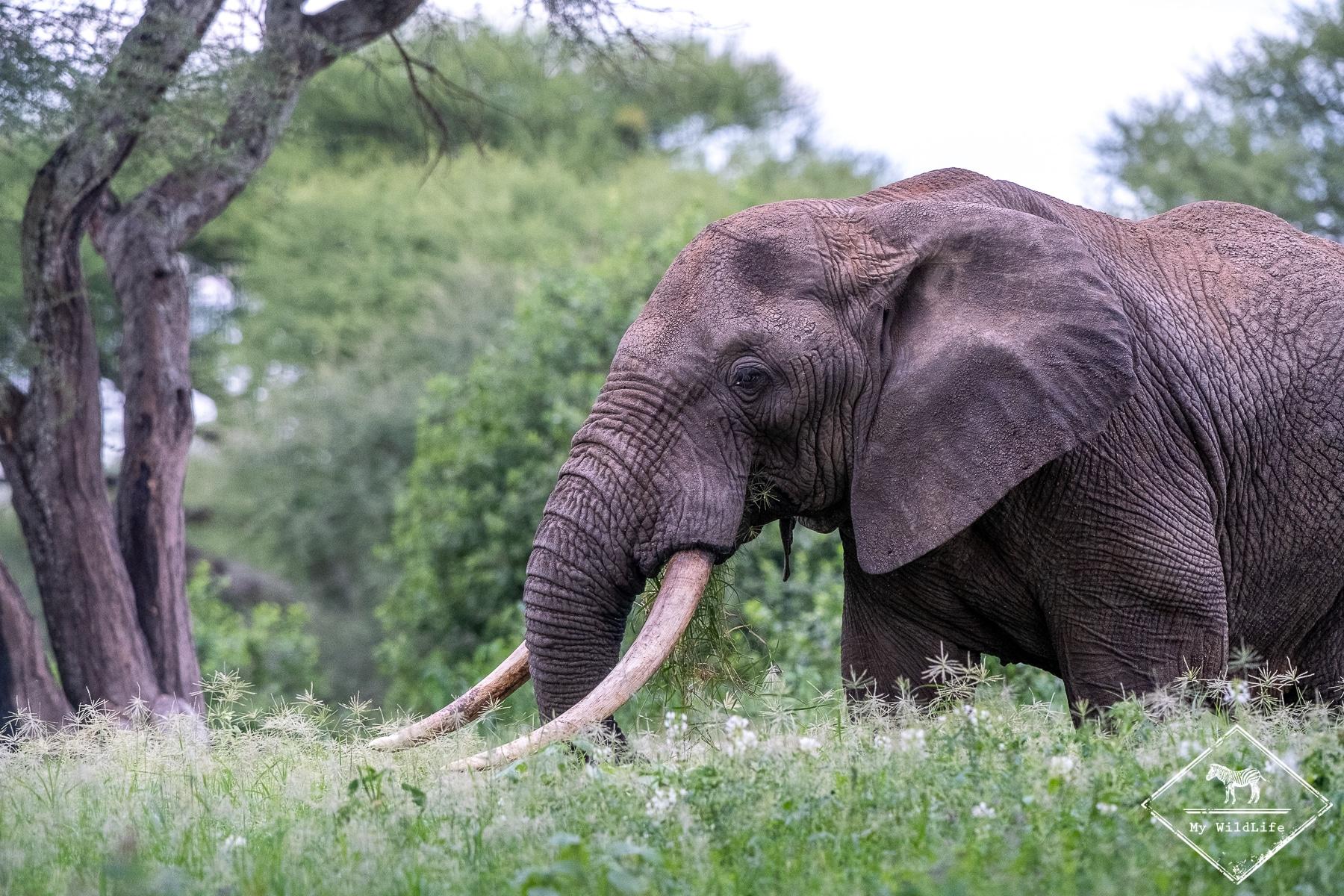 Safari à Tarangire, éléphant