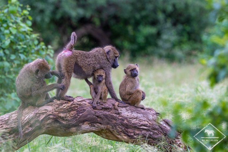 Babouins, safari à Tarangire