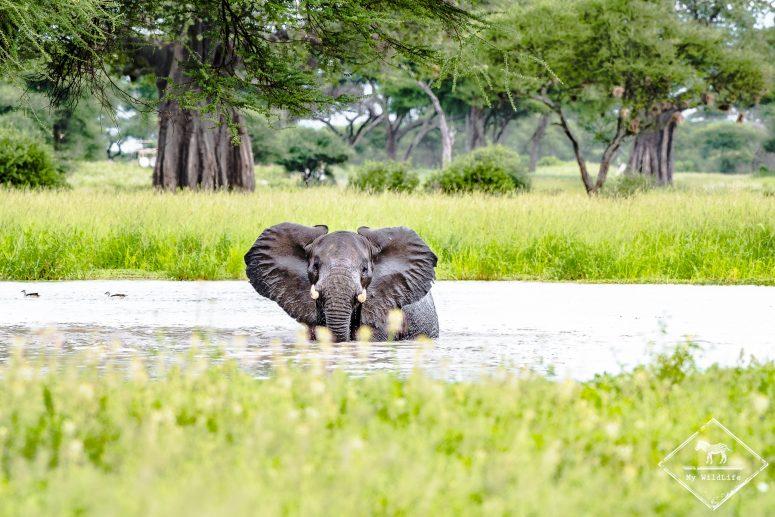 Eléphant, safari à Tarangire