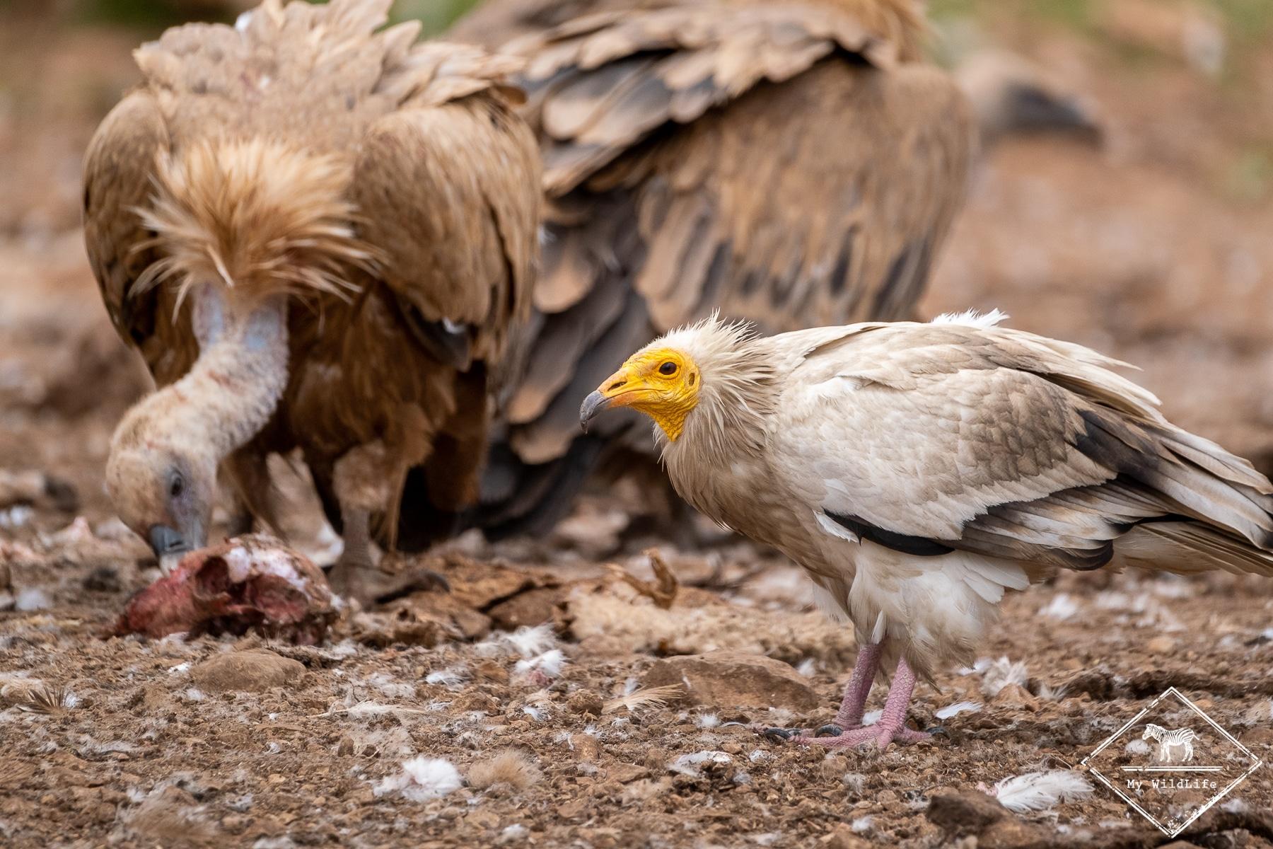vautours@GregoryRohart-
