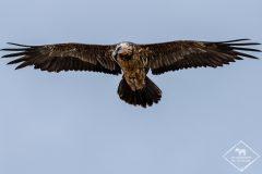Affût rapaces et oiseaux des steppes en Catalogne