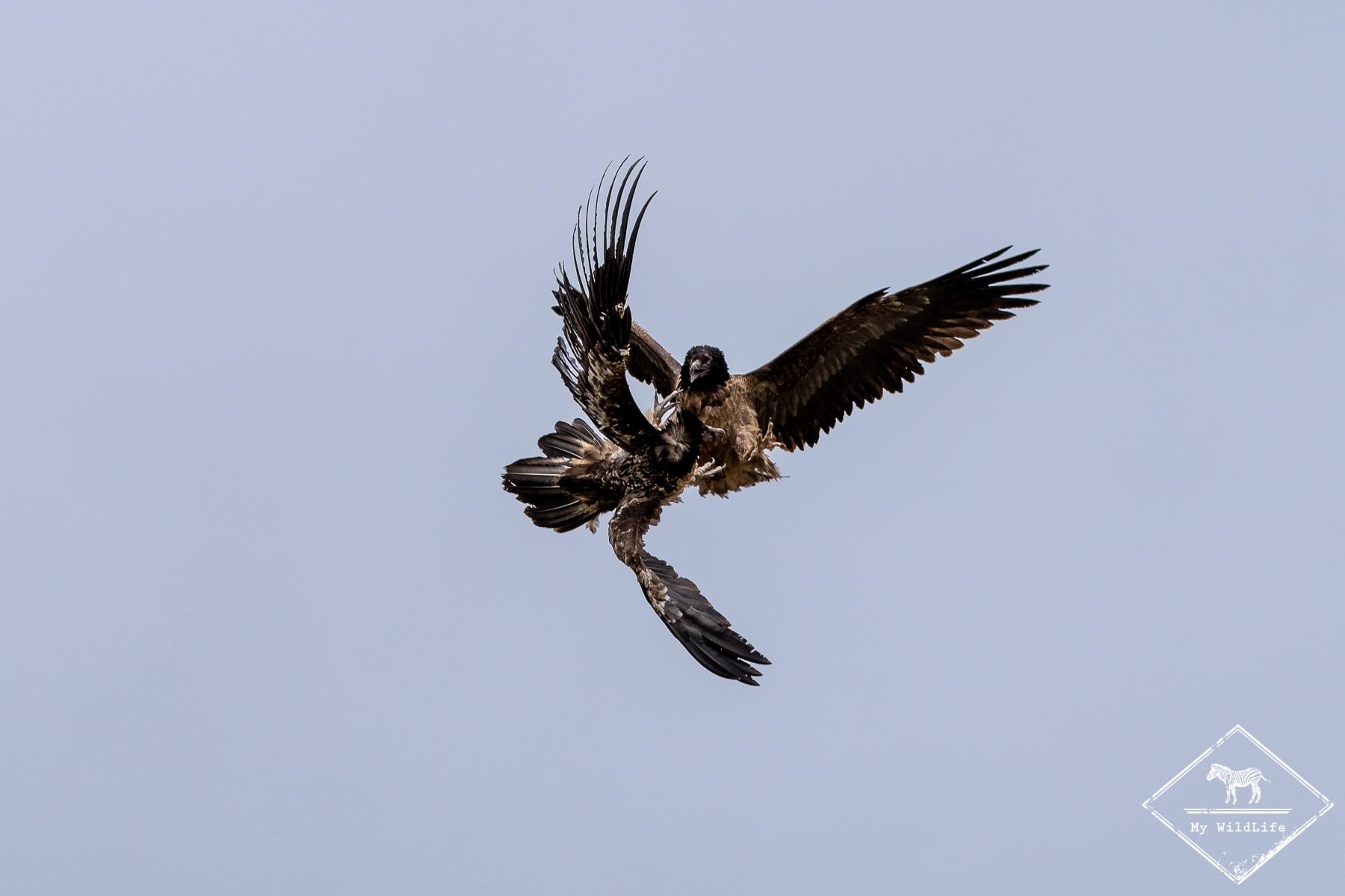 vautours@GregoryRohart-0690