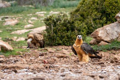 vautours@GregoryRohart-0961
