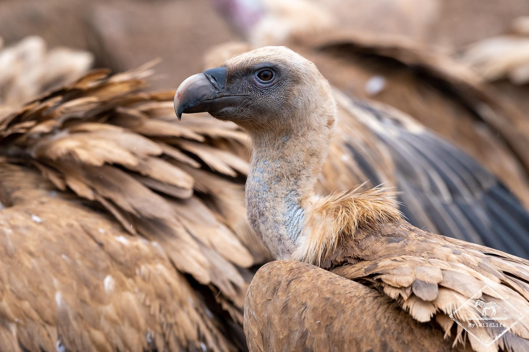vautours@GregoryRohart-7932