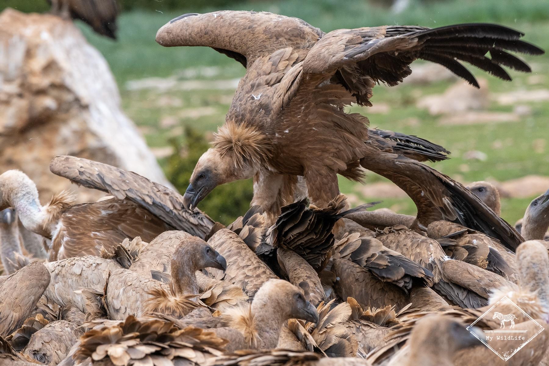 vautours@GregoryRohart-8109