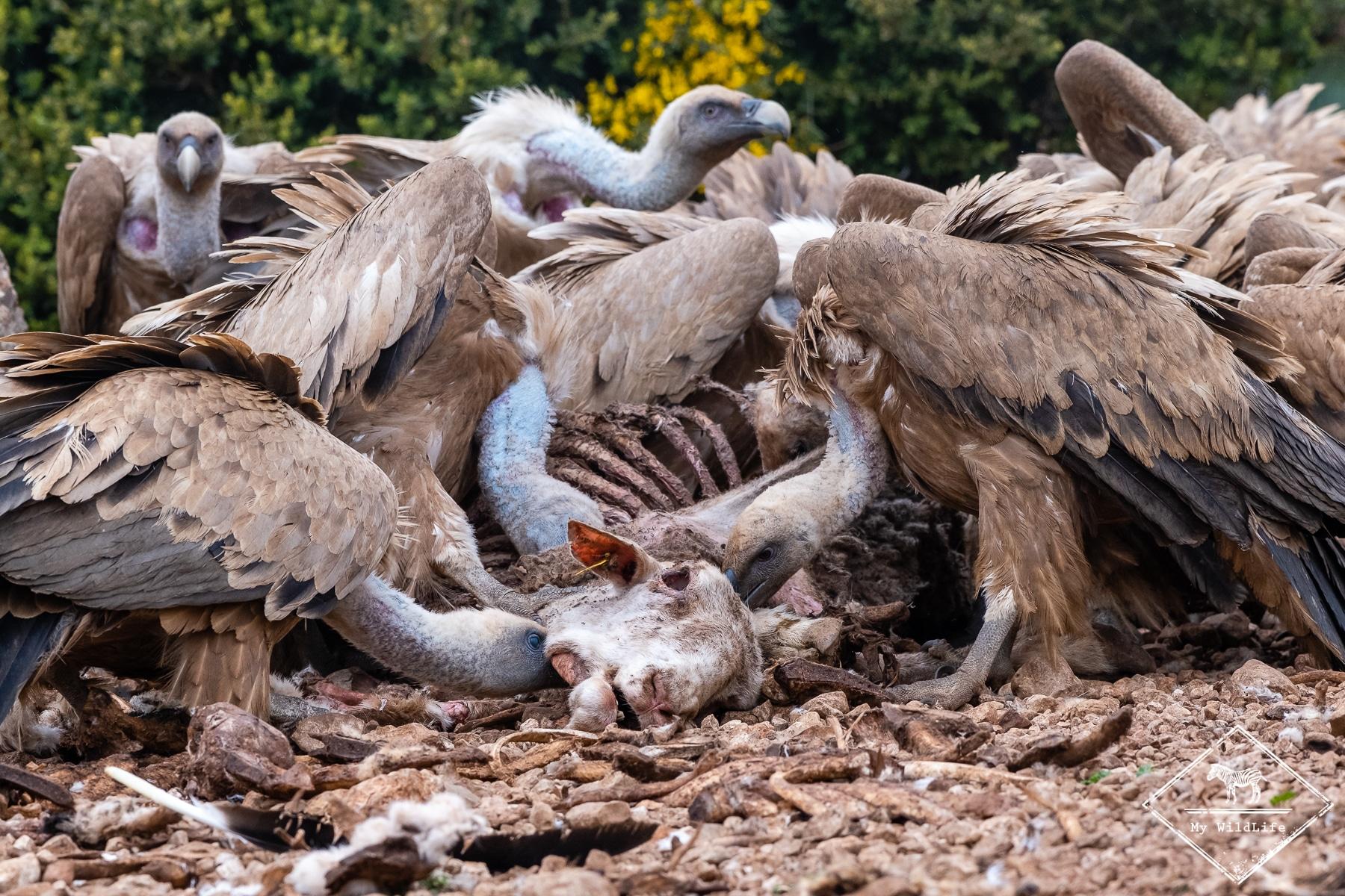 vautours@GregoryRohart-8398
