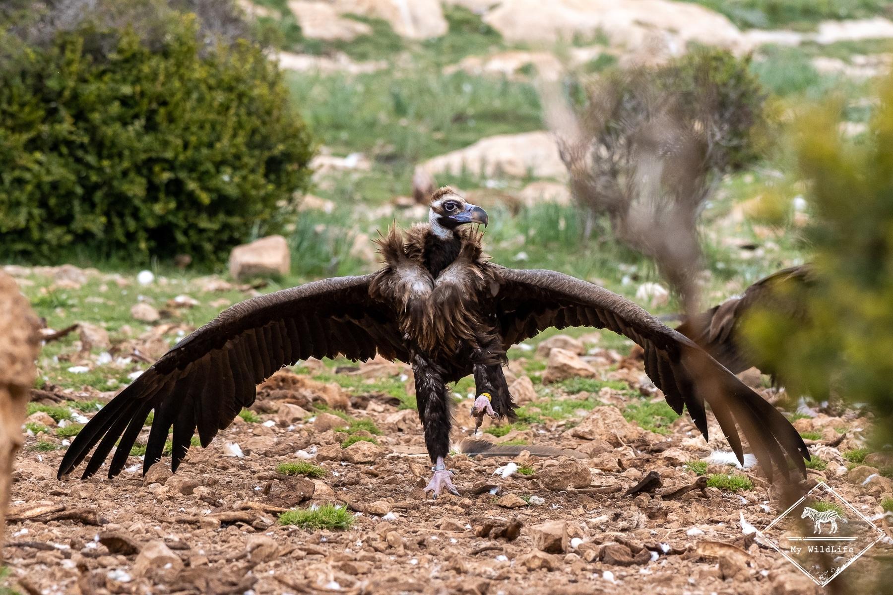 vautours@GregoryRohart-9773