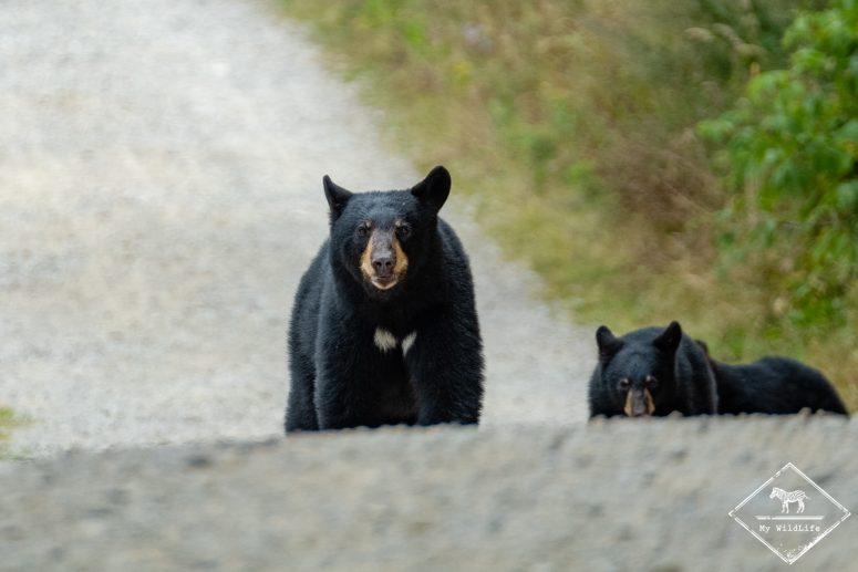 Quels Animaux voir au Québec ? L'Ours noirs bien entendu