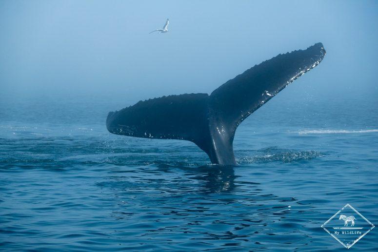 Baleine à bosse, fleuve Saint-Laurent, Québec.