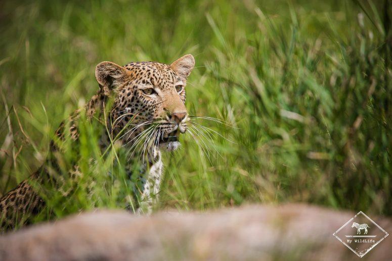 Léopard, Kruger