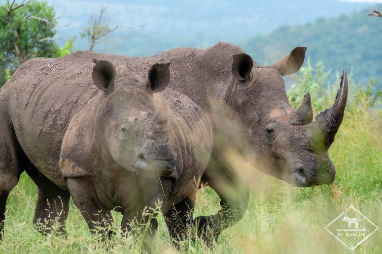 Rhinocéros, Imfolozi Hluhluwe