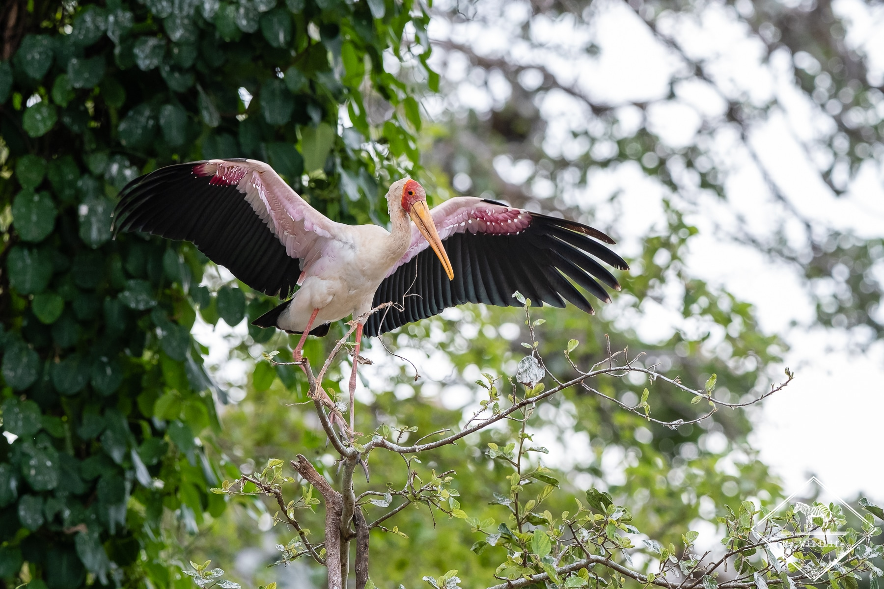 Tantale ibis, Safari au lac Manyara
