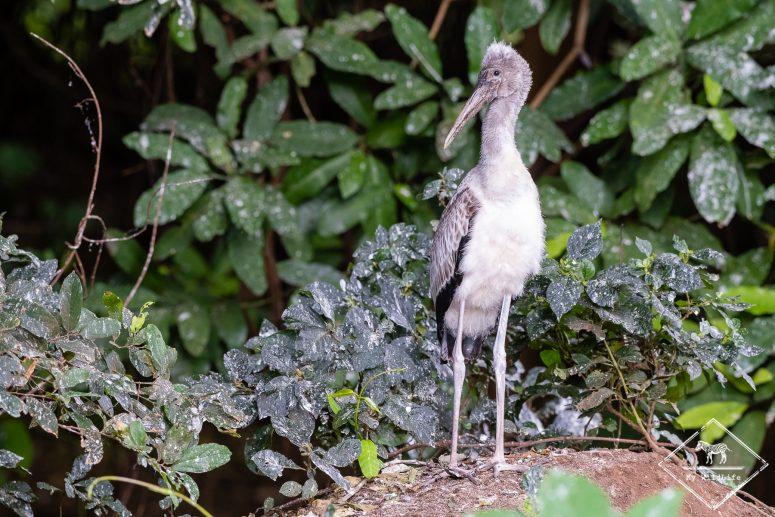 Tantale ibis juvénile, Safari au lac Manyara