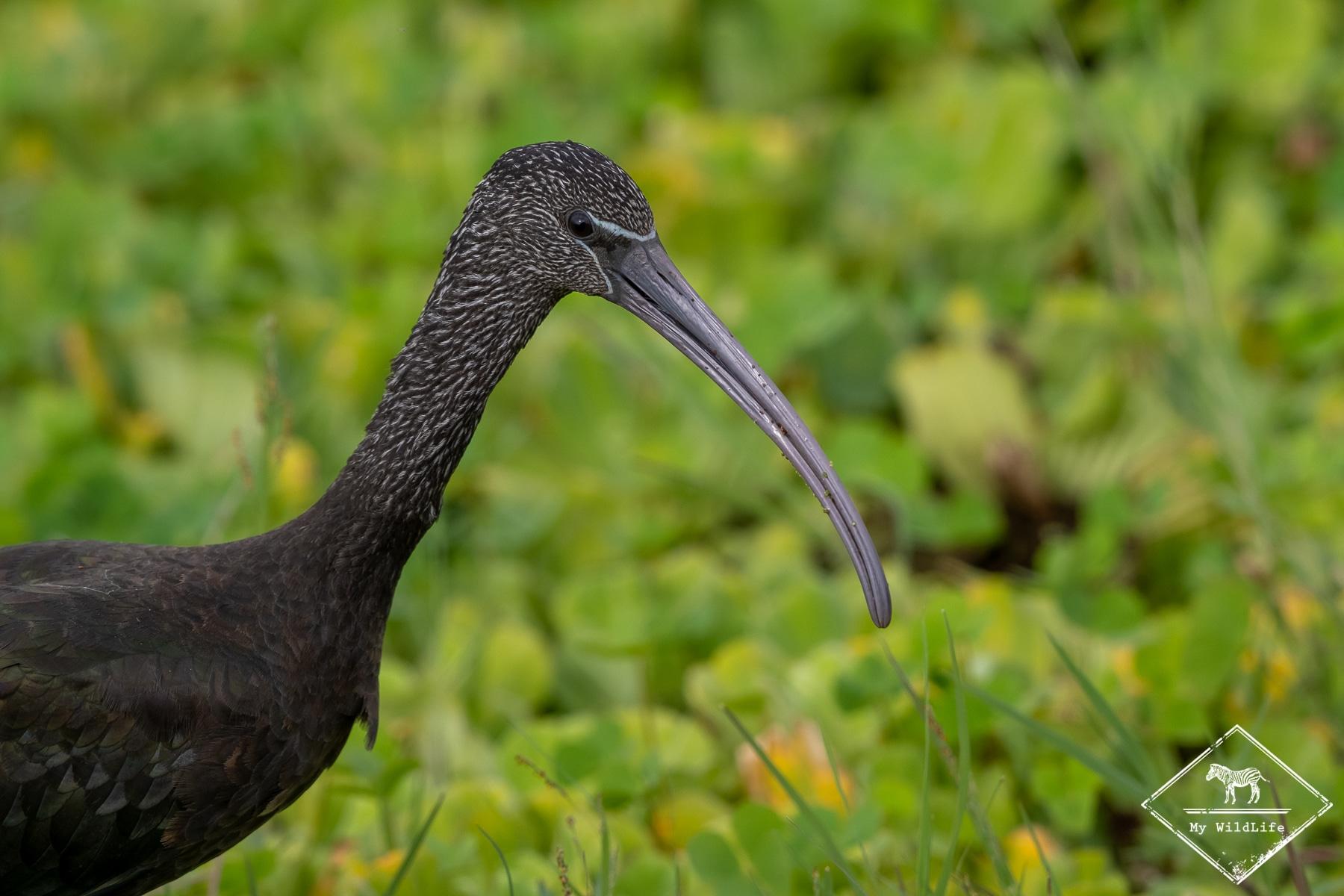 Ibis alcinelle juvénile, Safari au lac Manyara