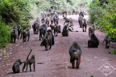 Des babouins par centaine