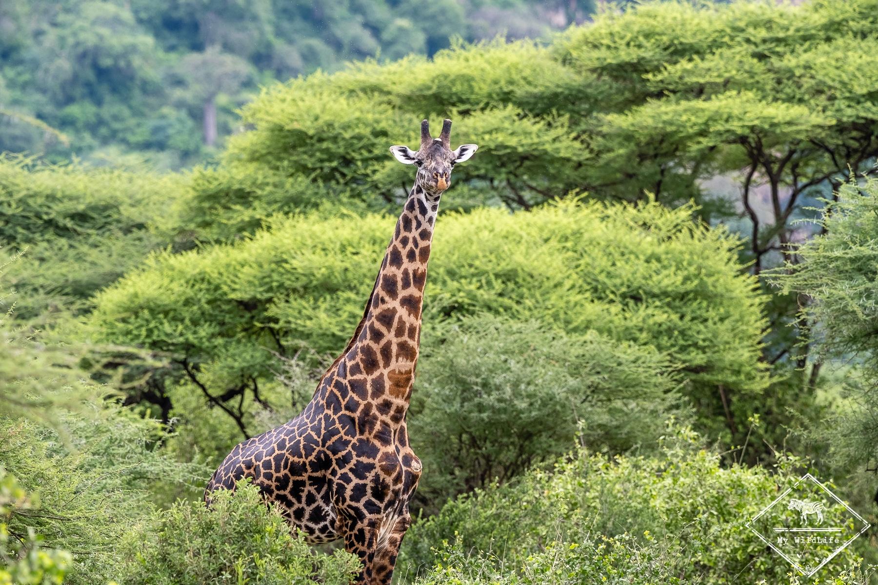 tanzanie-lac-manyara@GregoryRohart-4477