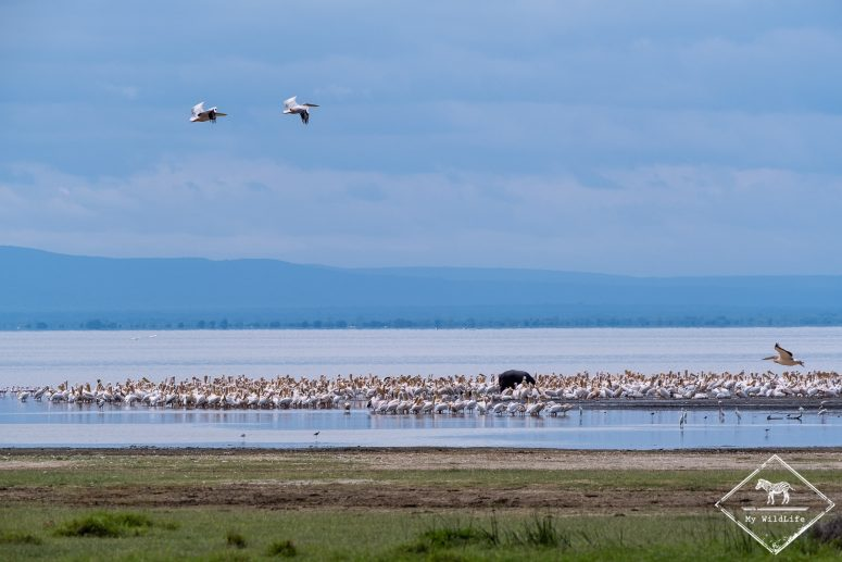 Pélicans blancs, lac Manyara