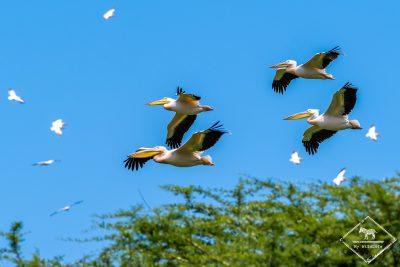 Pélicans blancs, safari au lac Manyara