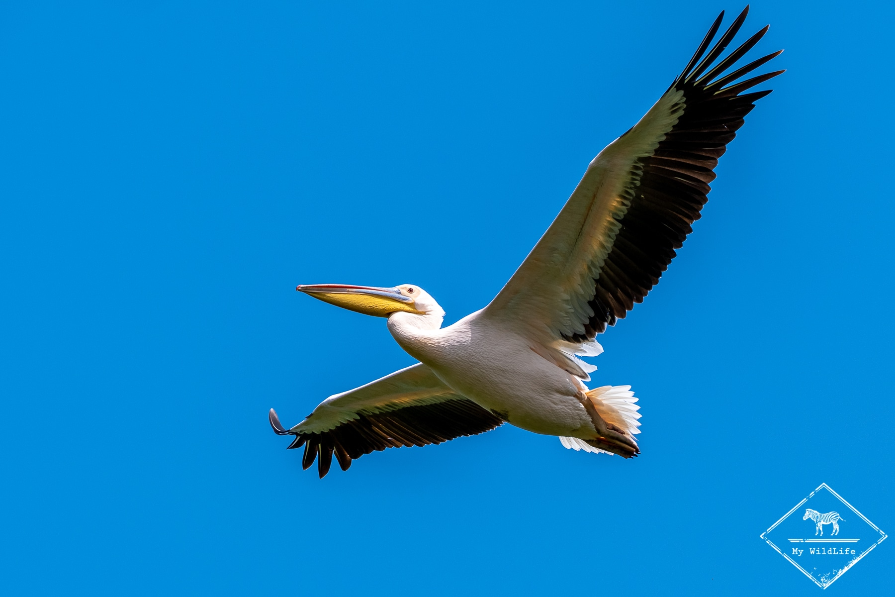 Pélican blanc, parc national du lac Manyara