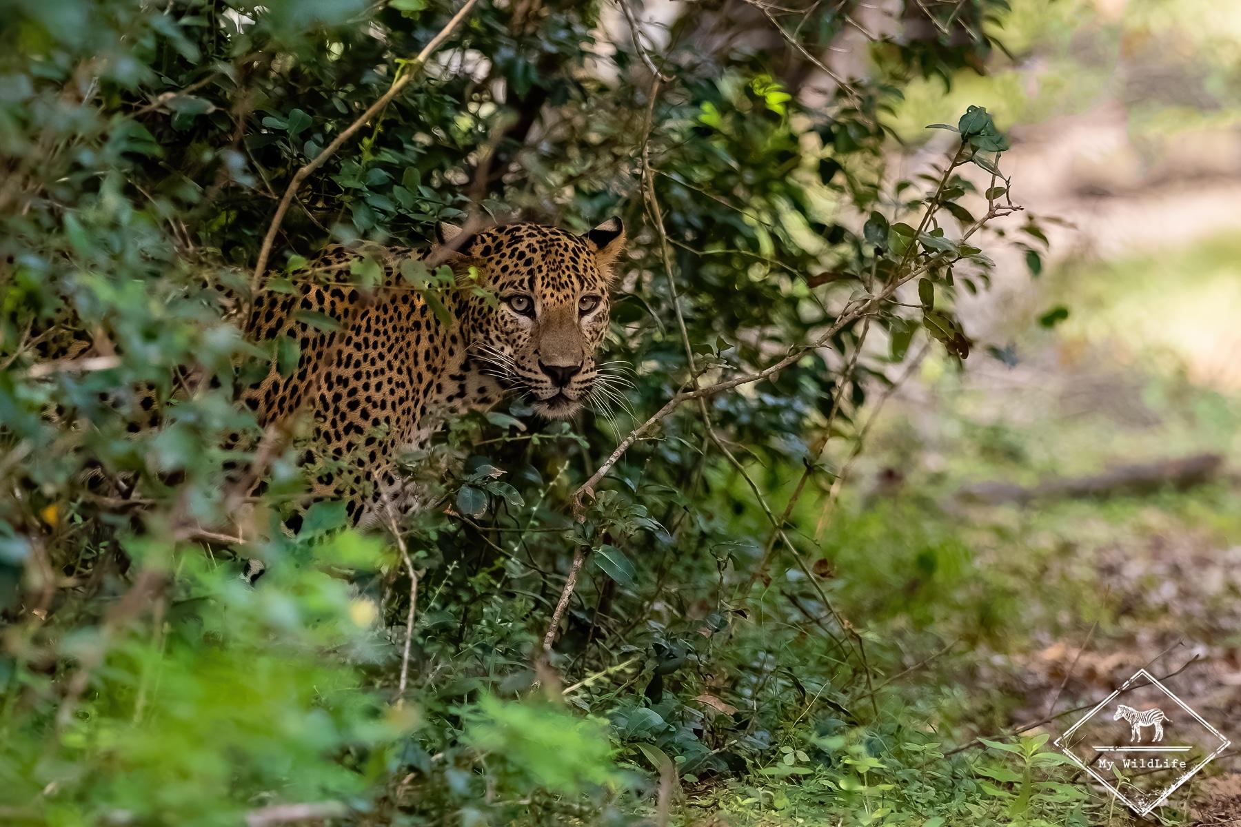 Quels animaux voir au Sri Lanka ? Le léopard