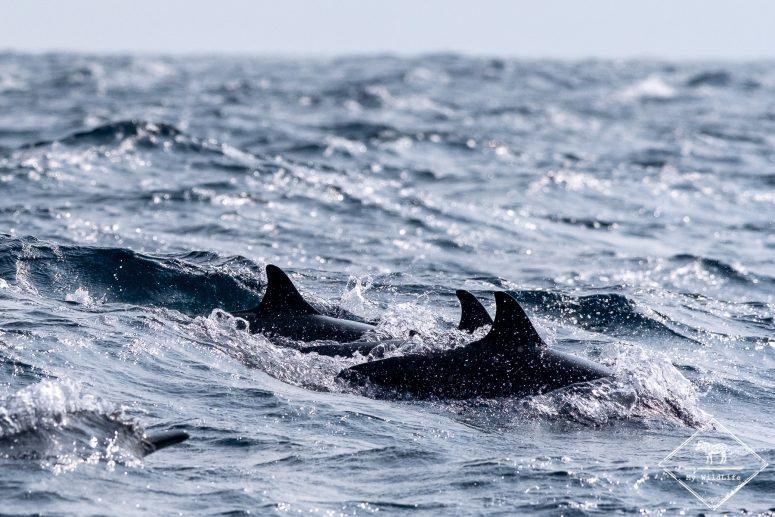 Dauphins à long bec, Sri Lanka