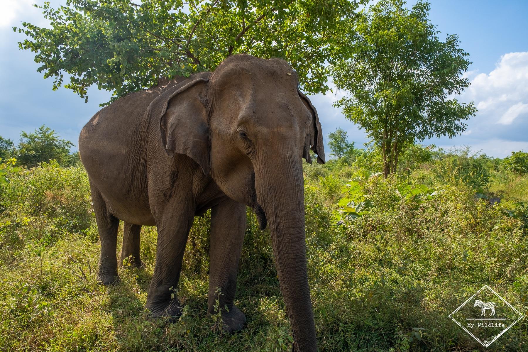 Quels animaux voir au Sri Lanka ? L'éléphant