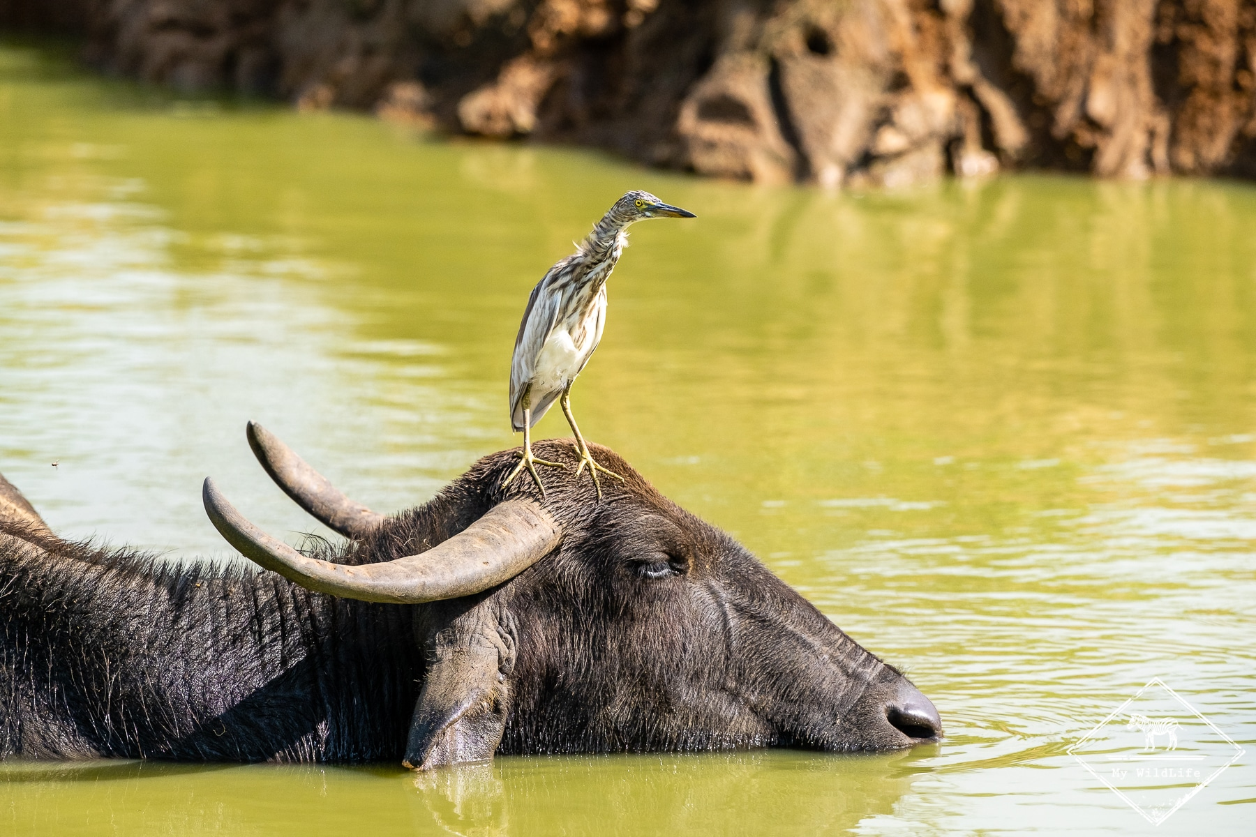 Quels animaux voir au Sri Lanka ? Le buffle