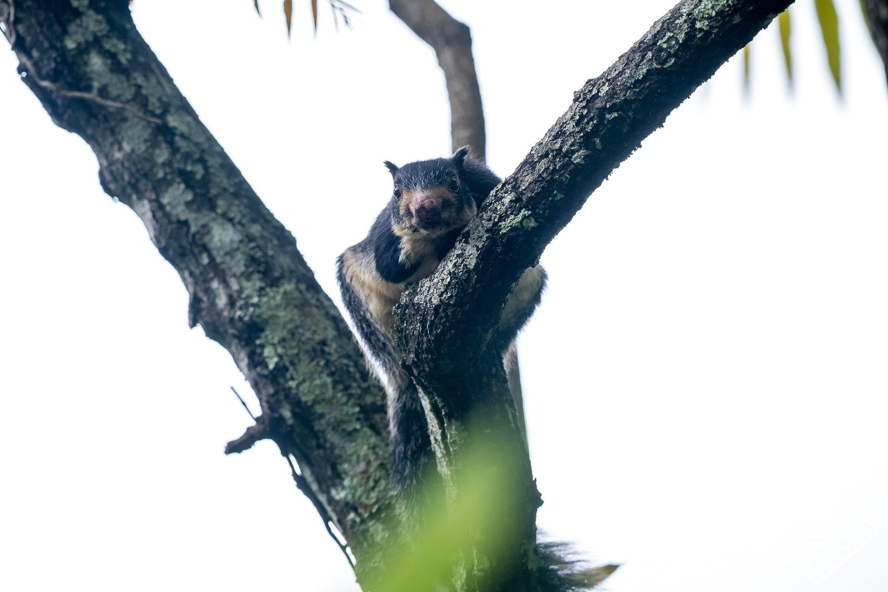 Quels animaux voir au Sri Lanka ? Ecureuil géant