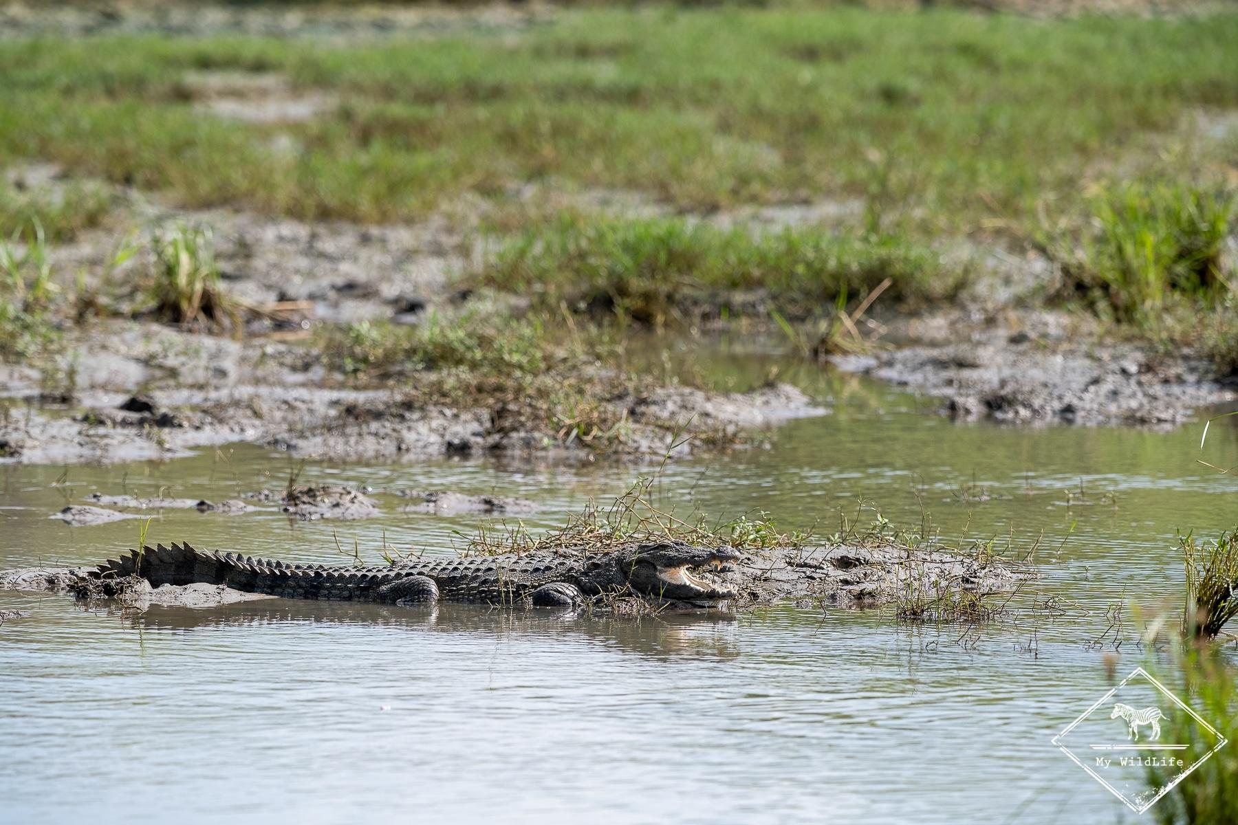 Quels animaux voir au Sri Lanka ? Le crocodile