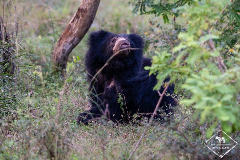 Quels animaux voir au Sri Lanka ? L'ours paresseux