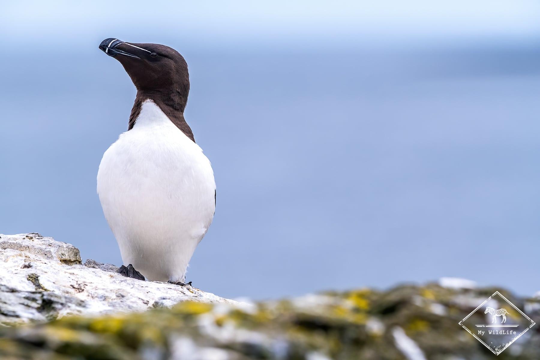 Pingouin Torda, Farne islands