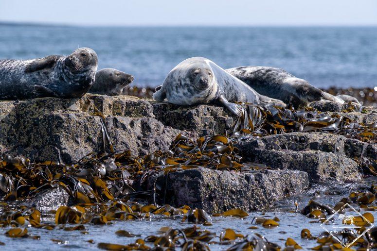 Phoque gris, Farne islands