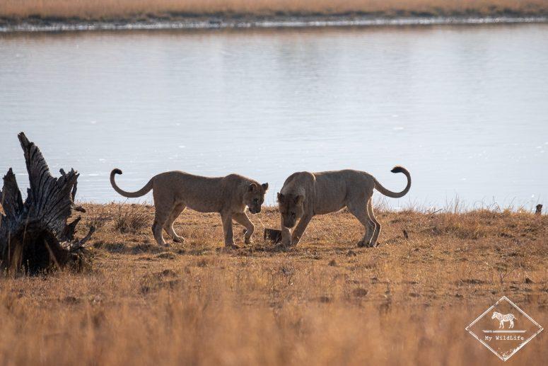 Lion, parc national Pilanesberg
